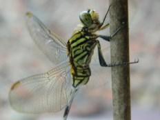 Papatong / Dragonfly