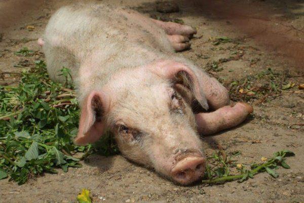 Свинья заболела рожей что делать