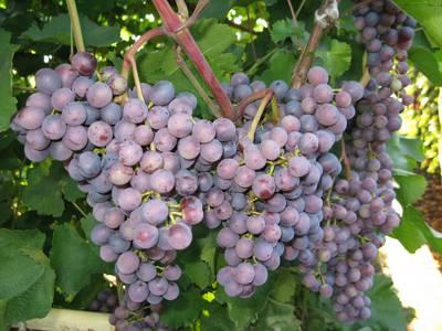 Описание, фото винограда сорта Муромец, отзывы о нем садоводов
