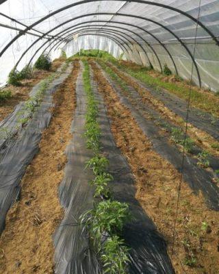 culture des légumes de saison traditionnelle ferme de Berdin Banos