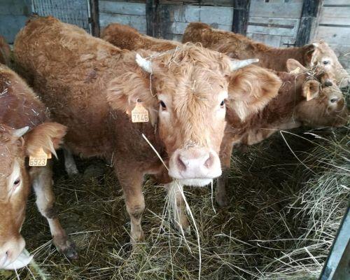 élevage veau de grande qualité ferme de Berdin Banos
