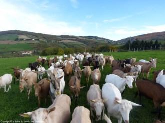 le troupeau de chèvre