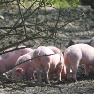 les cochons mangent le petit lait