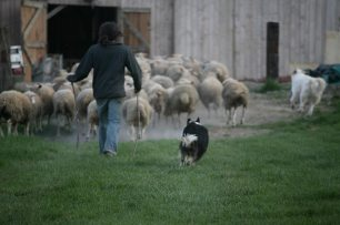retour à la bergerie avec les chiens