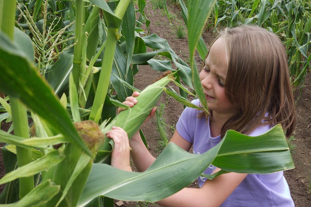 Autocueillette de maïs - La Ferme Genest