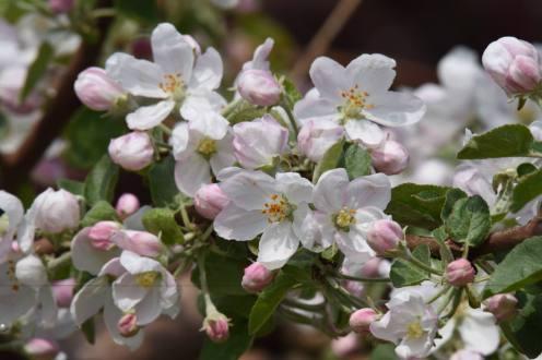 Pommier en fleurs - début saison - Ferme Genest