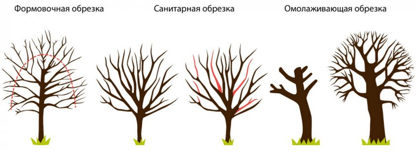Виды обрезки калины