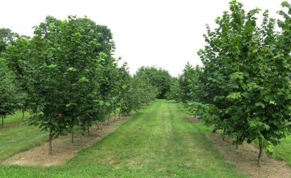 Орехи фундук: как выглядит дерево, фото, описание растения