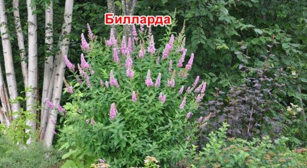 Спирея густоцветковая (денсифлора): фото и описание ...