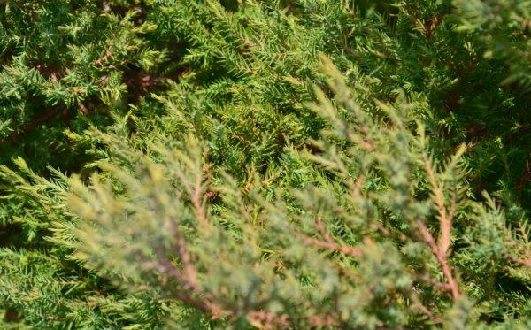 Туя вересковидная западная Эрикоидес: фото и описание ...