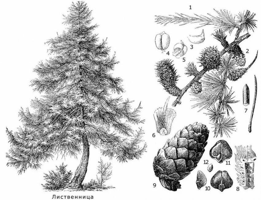 ลักษณะและโครงสร้างของต้นสนชนิดหนึ่ง