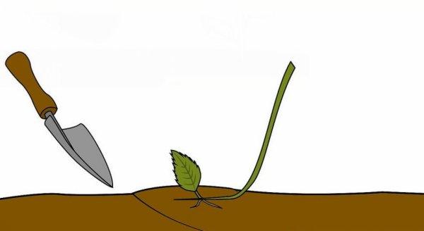 Гортензия Саржента: посадка и уход за цветком, фото ...
