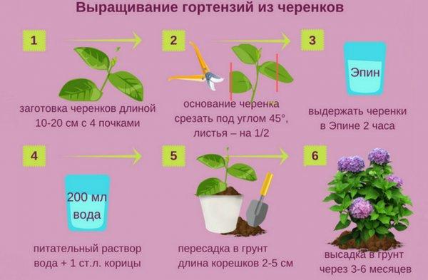 Гортензия метельчатая Самарская Лидия: описание с фото и ...