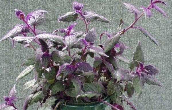 Гинура (комнатное растение): уход в домашних условиях ...