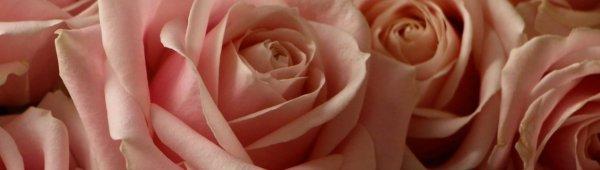 Роза «Аваланж»: фото и описание, выращивание и уход