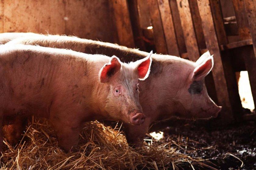 Наступление течки у свиньи
