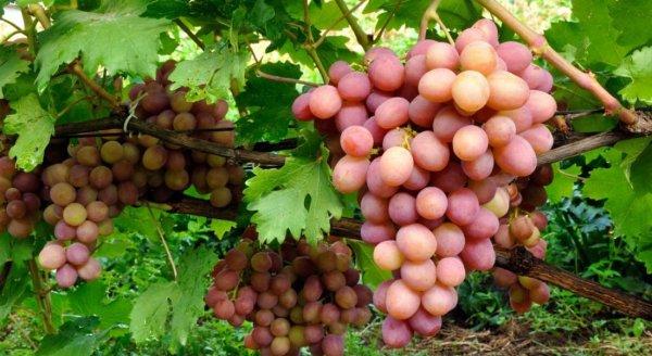 Виноград Сенатор (Павловского): описание сорта, фото, отзывы