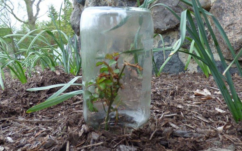 Высадка черенков в открытый грунт