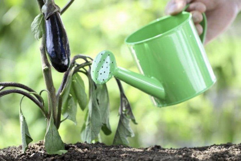 Почему опадают цветы у баклажан в теплице