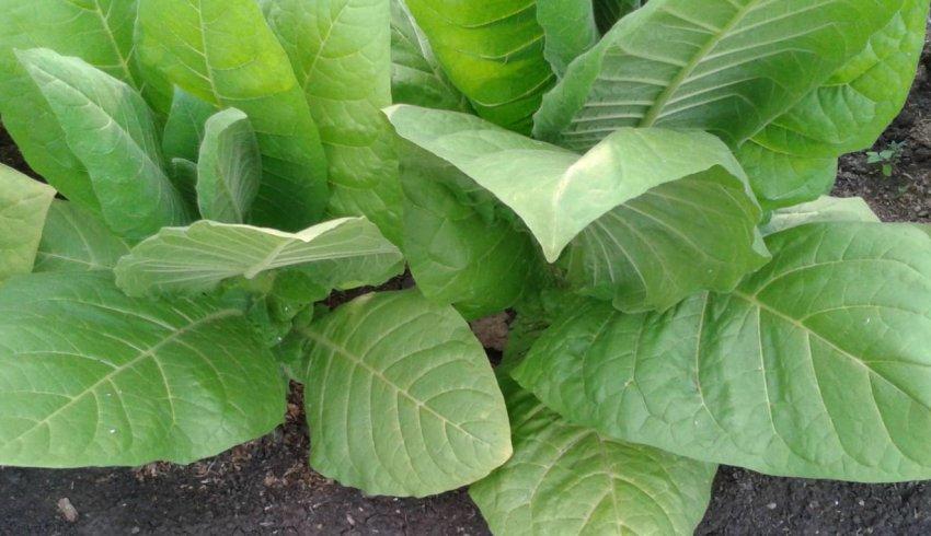 तंबाकू जुबली नई 142