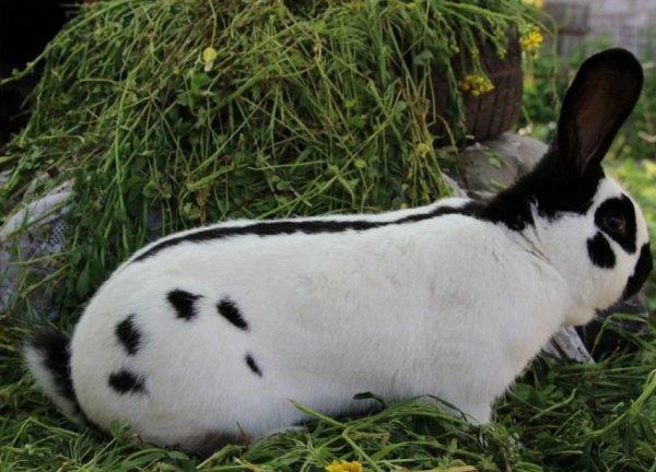 Кролик строкач: описание, характеристика и фото породы ...