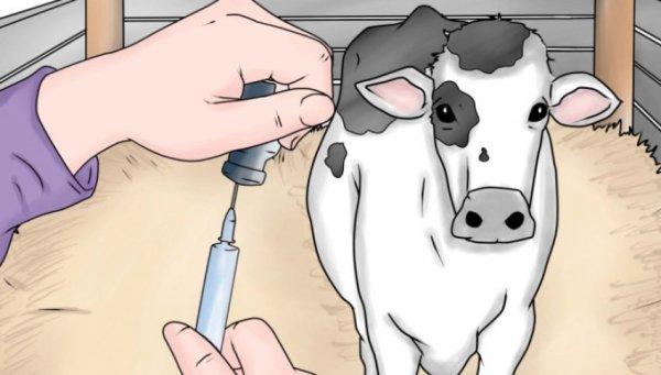 Чем лечить у коров бородавки на вымени (папилломы)