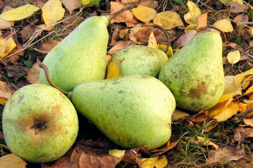 Плоды груши Пакхам