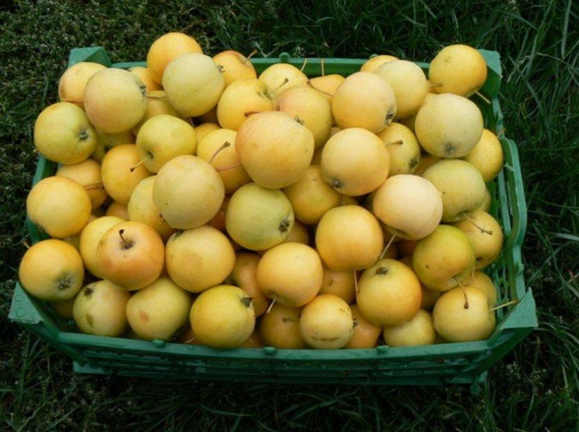 Сбор урожая яблок Уральское наливное