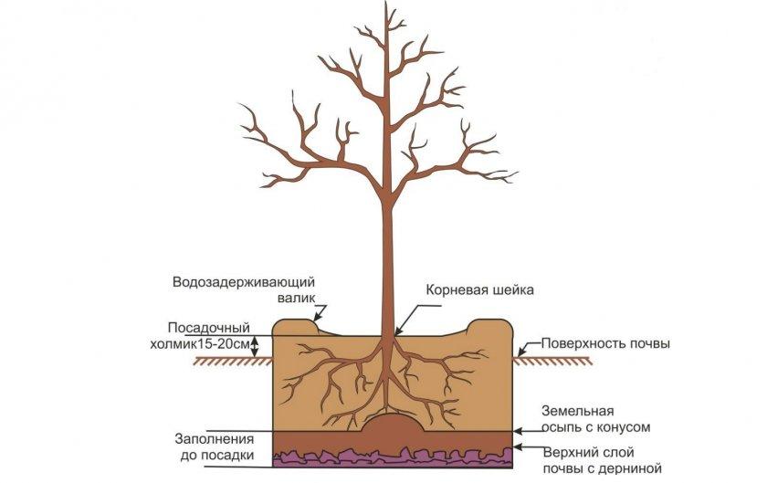 Схема посадки вишни
