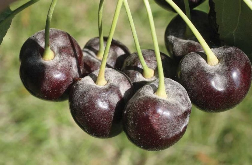 Мучнистая роса на плода вишни