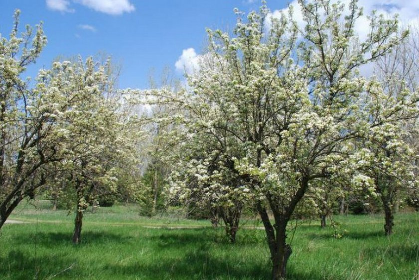 Цветение яблони Чемпион