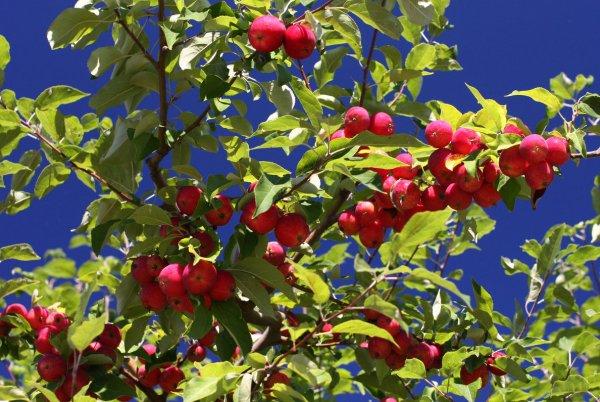 Сорт яблони Райское яблоко: описание и характеристика ...