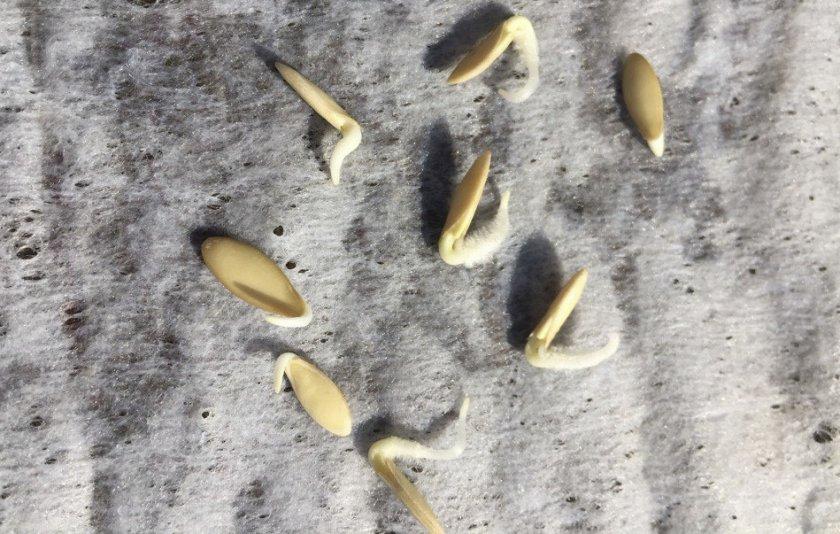 Пророщенные семена огурцов