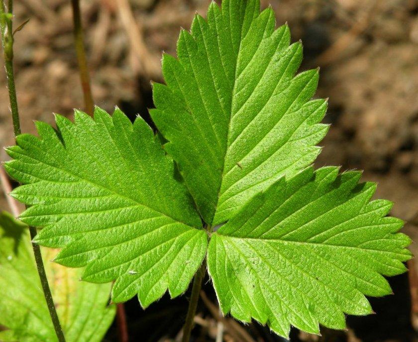 Листья Ананасной клубники