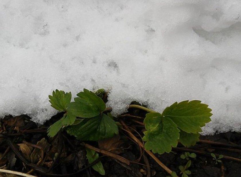 Слой снега на кусте клубники