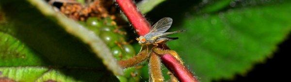 Основной вредитель малины — галлица — и меры борьбы с ней ...