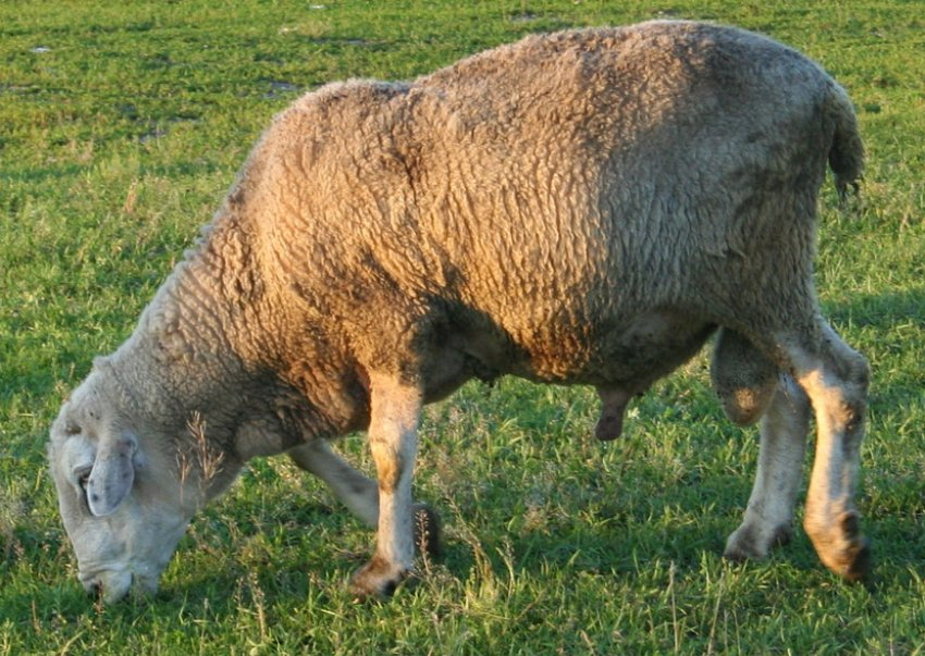 Kuibyshev Breed Sheep.