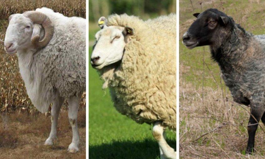 Rodun lampaita