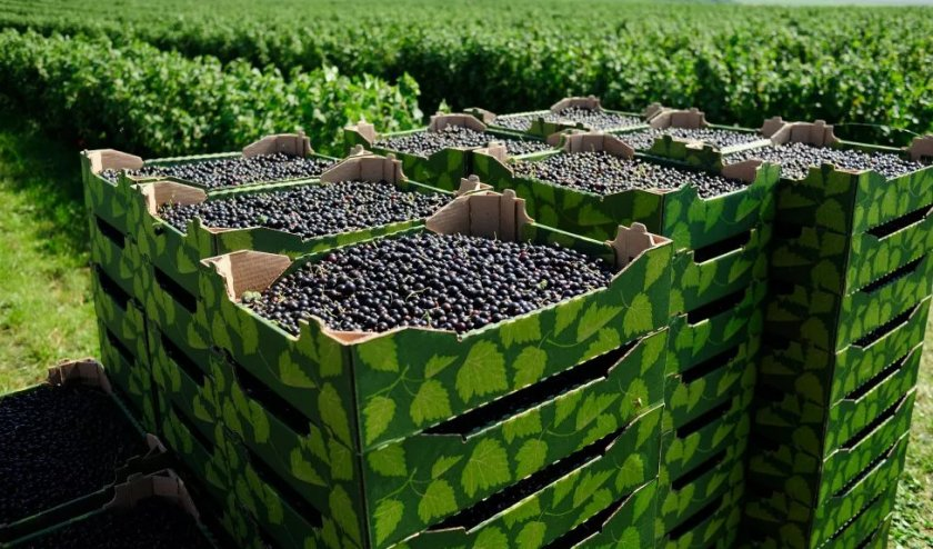 Сбор урожая смородины