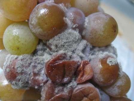 На винограде черные точки