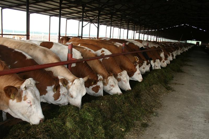 Как открыть Бизнес по разведению крупного рогатого скота с нуля, как начать бизнес