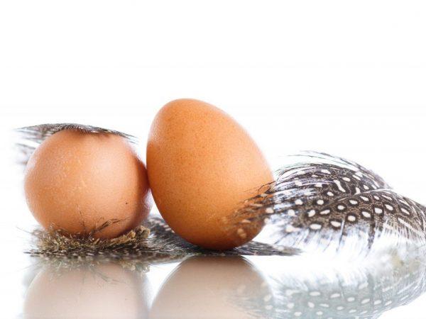 Сколько лет несутся цесарки в домашних условиях. Когда цесарки начинают нести яйца и в каком количестве