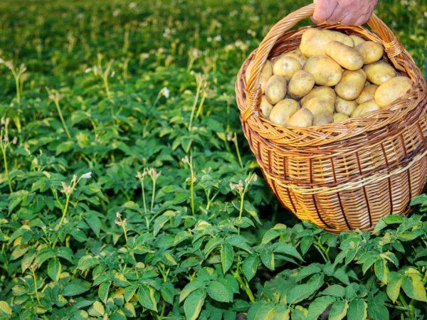 Соблюдаем расстояние между картофелем