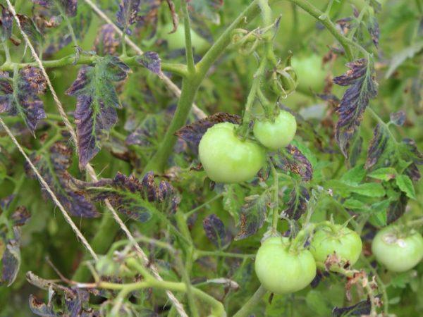 Tomatenblätter kräuseln sich