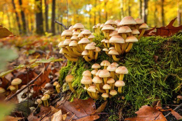 Осенние опята: описание, фото