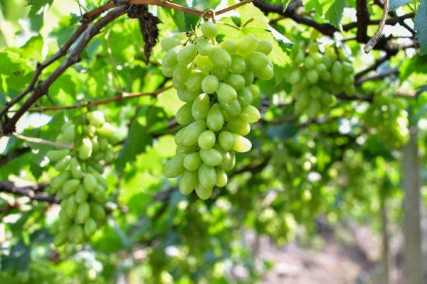 Виноград Подарок Запорожью: описание сорта, фото, отзывы