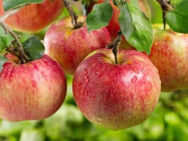 Яблоня Ауксис: описание сорта, фото, отзывы, посадка