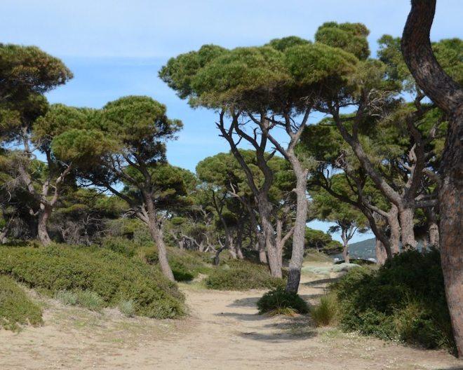 Ein Pinienbaum ist ein guter Schattenspender