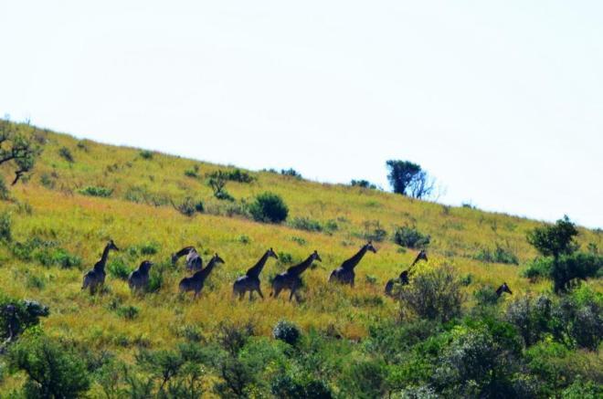Selbstfahrer Safari im Hluhuluwe Nationalpark, Südarfika-Highlight