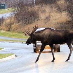 Wildlife collisions and remediation in the Elk Valley